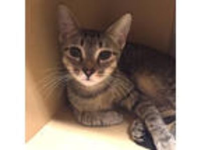 Adopt Lulu a Tabby, Domestic Short Hair