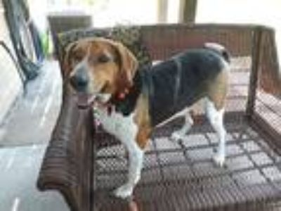 Adopt Goose a Black - with White Treeing Walker Coonhound dog in Circle Pines