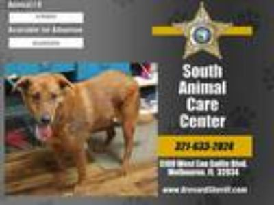 Adopt SHERWOOD a Red/Golden/Orange/Chestnut Mixed Breed (Medium) / Mixed dog in