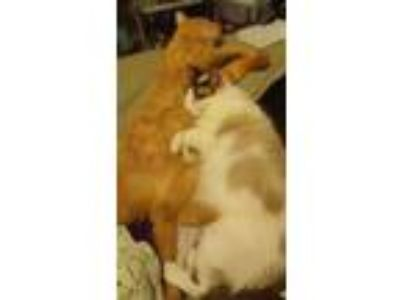 Adopt J a Orange or Red Tabby Domestic Shorthair / Mixed cat in Rose Hill