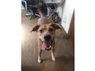 Adopt Haley a Red/Golden/Orange/Chestnut - with White Retriever (Unknown Type) /