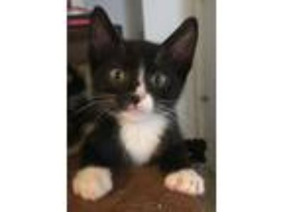 Adopt Franklin - Claremont a Black & White or Tuxedo Domestic Shorthair / Mixed