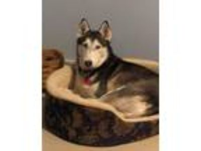 Adopt Darla a Siberian Husky / Mixed dog in Matawan, NJ (22869053)