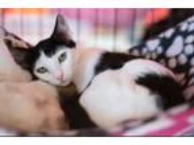 Adopt PORTIA a Domestic Short Hair