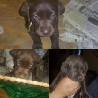 Labrador Retriever PUPPY FOR SALE ADN-99309 - 2 Male Chocolate Labs