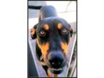 Adopt Princess a Rottweiler, Doberman Pinscher