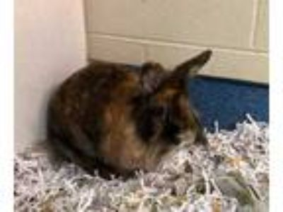 Adopt Logan a Chocolate Lionhead / Mixed rabbit in DeKalb, IL (25283243)