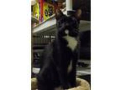 Adopt Benji a Domestic Shorthair / Mixed (short coat) cat in Land O Lakes
