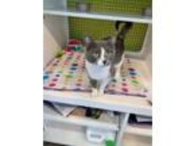 Adopt Rosie a Gray or Blue Domestic Shorthair / Domestic Shorthair / Mixed cat