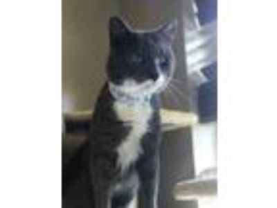 Adopt 575-19 a Gray or Blue Domestic Shorthair / Domestic Shorthair / Mixed cat