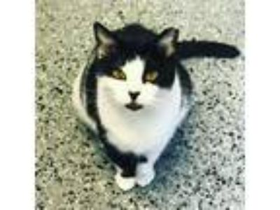 Adopt Bootsie a Domestic Short Hair