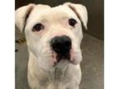 Adopt Esperanza a White - with Tan, Yellow or Fawn Boxer / Pit Bull Terrier dog