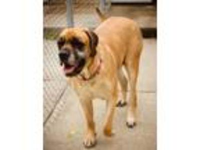 Adopt NALA - MEDICAL HOLD a Mastiff