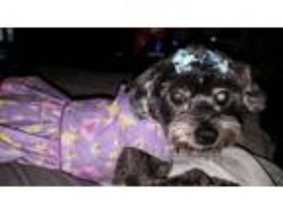 Adopt Coco a Black - with Gray or Silver Poodle (Miniature) / Terrier (Unknown