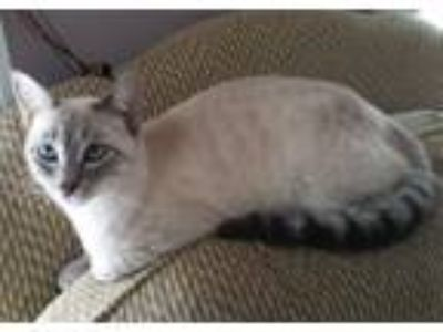 Adopt Aurora a Tan or Fawn Siamese (short coat) cat in Horsham, PA (15683110)
