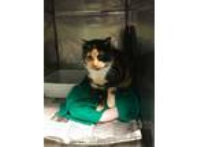 Adopt Periwinkle a Calico