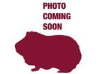 Adopt Guinness a White Guinea Pig / Guinea Pig / Mixed small animal in West
