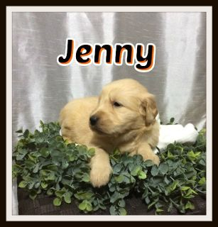 Jenny Female AKC Golden Retriever 330-826-1882