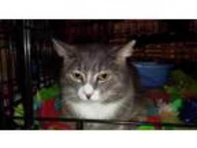 Adopt Liam a Gray, Blue or Silver Tabby Domestic Shorthair / Mixed (short coat)