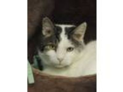 Adopt Lindt a American Shorthair