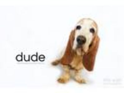Adopt Dude a White - with Red, Golden, Orange or Chestnut Basset Hound / Mixed