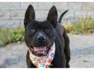 Adopt AXEL a Pit Bull Terrier, Mixed Breed