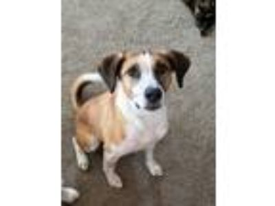 Adopt Jordy a Tricolor (Tan/Brown & Black & White) Beagle / St.