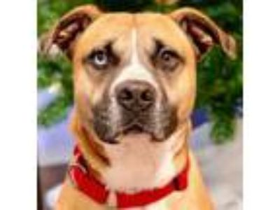 Adopt A136927 a Boxer, Black Mouth Cur