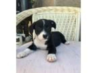 Adopt Panda a Black - with White Border Collie / Dachshund / Mixed dog in Valley