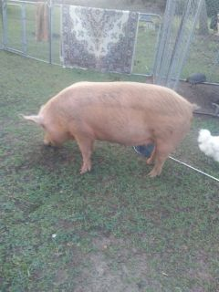 Female pig for sale 400 lbs.