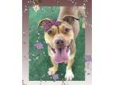 Adopt KALE a Tricolor (Tan/Brown & Black & White) Boxer / Mixed dog in Marietta