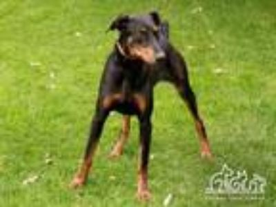 Adopt ZEUS a Doberman Pinscher, Mixed Breed