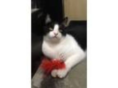 Adopt Herbie The Love Bug a Domestic Short Hair