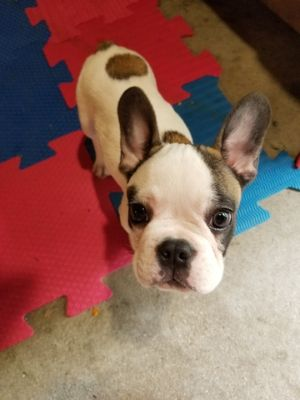 French Bulldog PUPPY FOR SALE ADN-79650 - White Brindle French Bulldog