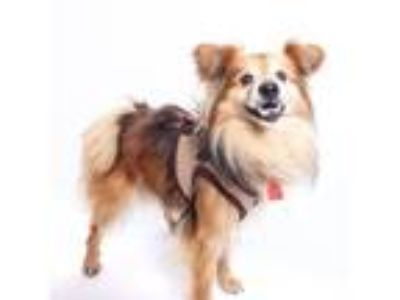 Adopt Bernal a Brown/Chocolate Sheltie, Shetland Sheepdog / Mixed dog in San