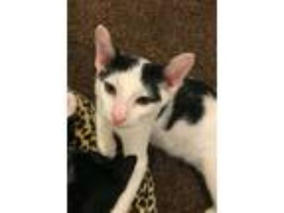 Adopt Thackery Binx a Black & White or Tuxedo American Shorthair / Mixed (short