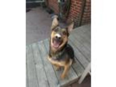 Adopt Dozer a Black - with Tan, Yellow or Fawn German Shepherd Dog / Mixed dog