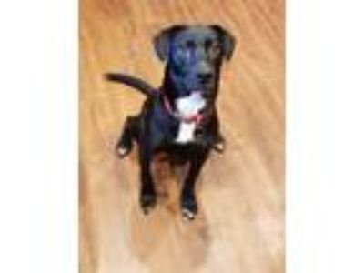 Adopt Annie a Black - with White Labrador Retriever / Jack Russell Terrier /