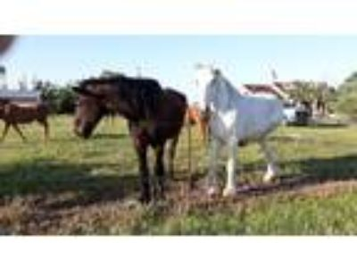 Two percherons for sale about 16 years old both