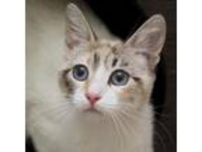 Adopt Columbia a Cream or Ivory Siamese / Domestic Shorthair / Mixed cat in San