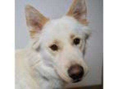 Adopt Choctaw a Tan/Yellow/Fawn Siberian Husky dog in Green Bay, WI (25358377)