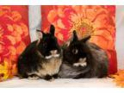 Adopt Wookie and Wicket a Dwarf, Jersey Wooly