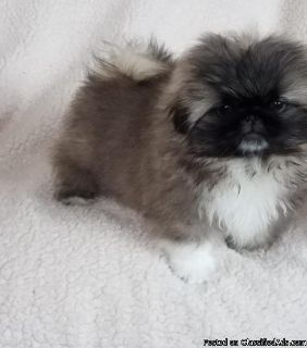 pounds fully grown.Pekingese Pups Available Now