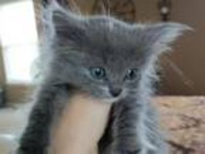 Ragamuffin Blue Gray Kitten Mitted Male