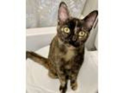 Adopt Lyric a Black (Mostly) Domestic Shorthair cat in Dallas, TX (25909585)