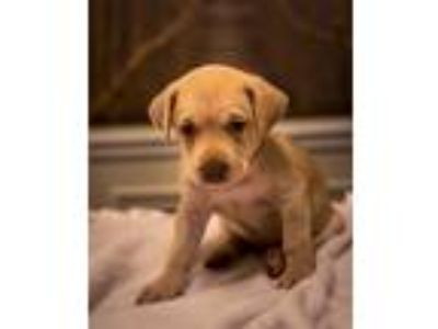 Adopt Carl JW a Tan/Yellow/Fawn Labrador Retriever / Dachshund / Mixed dog in