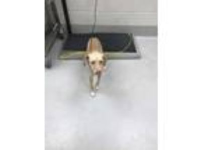 Adopt Gamora a Tan/Yellow/Fawn Beagle / Labrador Retriever / Mixed dog in