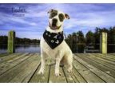 Adopt Dog a White - with Gray or Silver American Pit Bull Terrier / Mixed dog in
