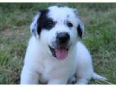 Adopt HUNTER a White - with Black Great Pyrenees / Newfoundland / Mixed dog in
