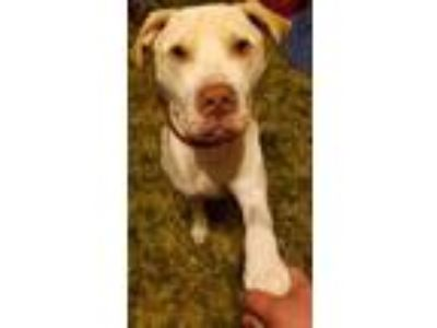 Adopt Dallas a Pit Bull Terrier, Labrador Retriever
